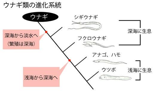 川崎悟司 オフィシャルブログ 古世界の住人 Powered by Ameba-ウナギ類の系統図