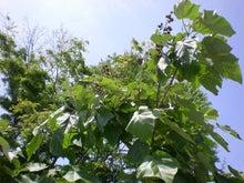 夫婦世界旅行-妻編-桐の木