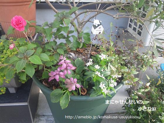 まにゃせんせいの、小さな庭-オリーブの寄せ植え