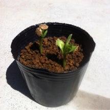芽が出た( ´ ▽ …