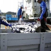 カツオ大漁