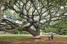 Happy Tea Time♪-ハワイの木