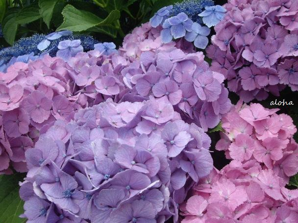 aloha☆-紫陽花