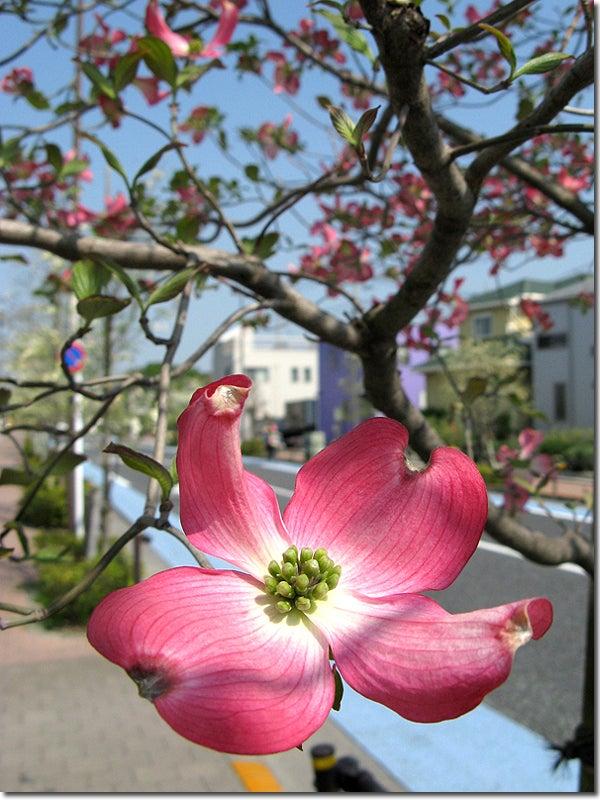 FREEDOM-赤い花水木