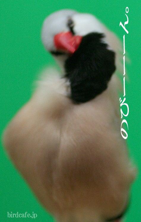 ようこそ!とりみカフェ!!~鳥カフェでの出来事や鳥写真~-シュバシキンセイチョウがのび~る