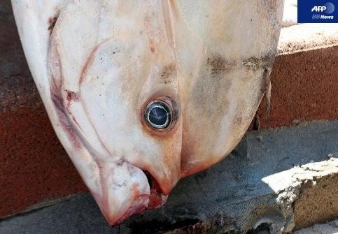 パンデモニウムコルシカ島で巨大魚アマシイラが打ち上げられる―フランスコメント