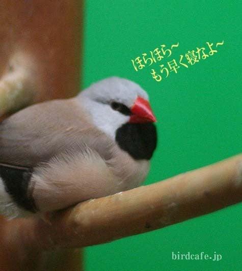 ようこそ!とりみカフェ!!~鳥カフェでの出来事や鳥写真~-眺めるシュバシキンセイチョウ
