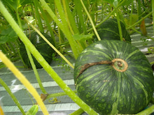 $福島県在住ライターが綴る あんなこと こんなこと-20120716おんでんかぼちゃ