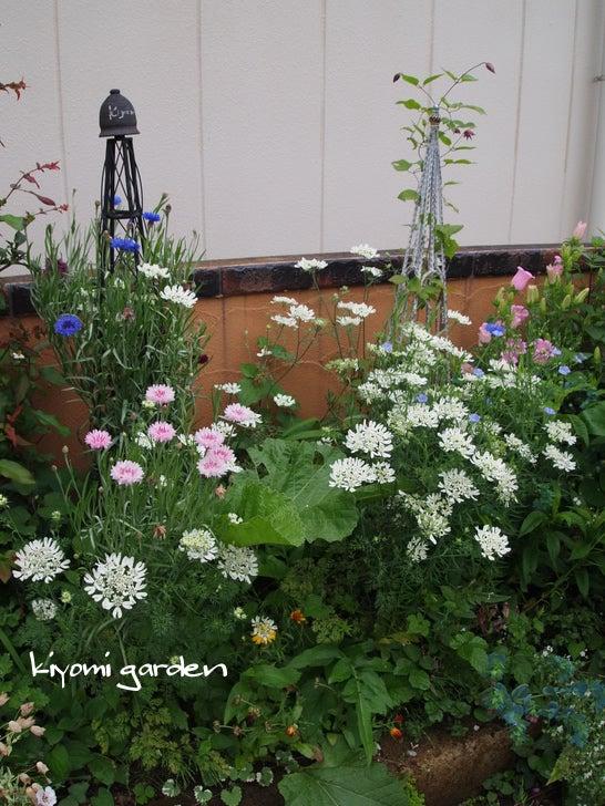 キヨミのガーデニングブログ 長澤淨美のアメブロオフィシャルブログPowered by Ameba-矢車草の画像