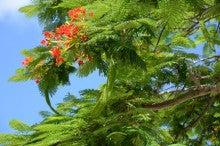 小笠原のエコツアー 小笠原旅行 小笠原観光 小笠原の情報と自然を紹介します-ホウオウボク