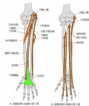 $上田市、腰痛、肩こり、ぎっくり腰改善の整骨院-前腕屈筋