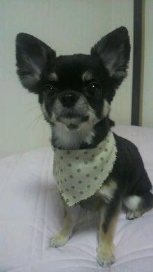 *。*。*。らむブロ*。*。*。~☆Happy Chihuahua Life☆~-2012080617110000.jpg