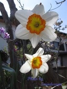Smile maker-Daffodil