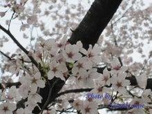 Smile maker-Cherry blossom