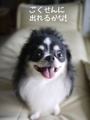チワワくきお☆ちわわミキオ