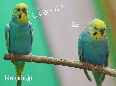 ようこそ!とりみカフェ!!~鳥カフェでの出来事や鳥写真~-セキセイインコの「にじ」さん