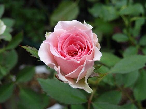 $私のバラに逢いたくて