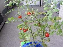 小さな学校のコラム-ミニトマト
