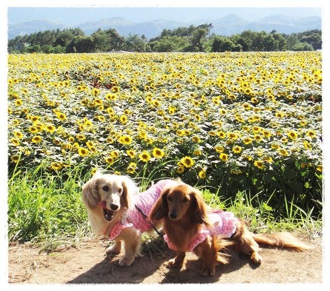 旅犬Lani&Leaのほほん風船記-明野 ひまわり畑
