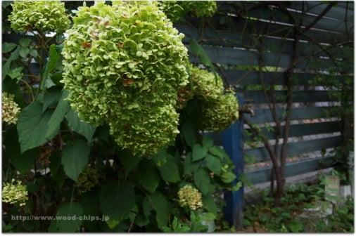 バラの庭・アトリエ・小さな雑貨【 wood-chips 】ウッドチップスのバックヤード- つるバラの青いフェンスと白いアジサイアナベル