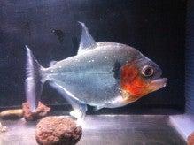 $ピラニア事変 -piranha incidents-