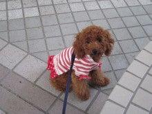 トイプードル☆ベルとうさぎ☆ミカンとの、ほのぼの日記