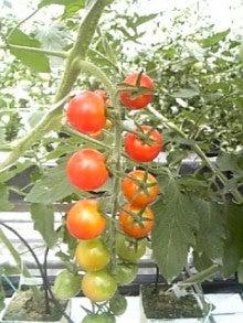 イングランドの丘スタッフブログ-ミニトマト