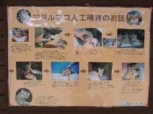 鴻巣の整体院ささき 整体よもやま話-国内初のマヌルネコの人工保育
