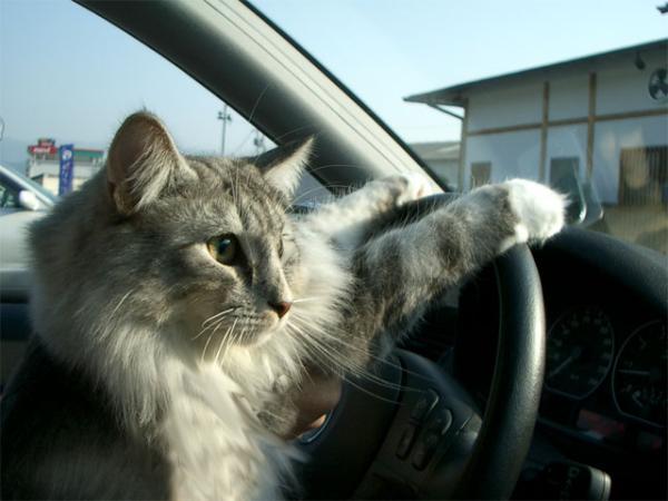 猫ですが運転してます