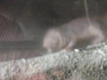 鴻巣の整体院ささき 整体よもやま話-ハダカデバネズミ3