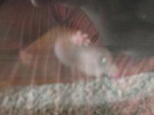 鴻巣の整体院ささき 整体よもやま話-ハダカデバネズミ2