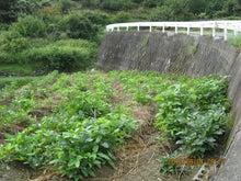 疎植の黒千石大豆