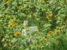 $とやま定住コンシェルジュ 3代目のブログ-ひまわり畑で大冒険!