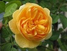 鈴木バラ園芸 サポートブログ