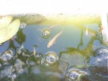 楽しいメダカ飼育生活!◆メダカ飼育方法、青メダカ、白メダカ、光メダカ、ダルマメダカ、メダカの飼い方、メダカ達人、メダカの産卵◆