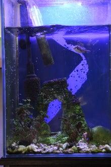 うおっち&ももの海水魚日記-'12-10-01 30cmH