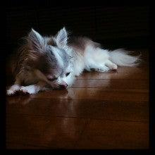 チワワのブルータンホワイト☆ゆあ・いる・うぴ☆日記-IMG_20120905_094402.jpg