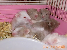 $ティファンの森ブログ ー小動物専門ブリーダー・ショップー