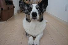 コーギー犬、OLALU一家の気まぐれ日記☆-おやつ待ってますよぉ~なOLAFっ(2012.10.12)♪