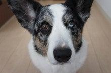 コーギー犬、OLALU一家の気まぐれ日記☆-今日のおやつは何ぃ~?なOLAFっ(2012.1012)♪