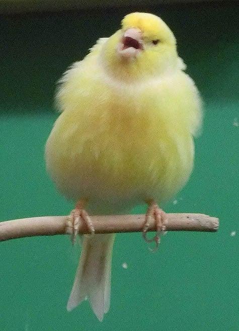 ようこそ!とりみカフェ!!~鳥カフェでの出来事や鳥写真~-03