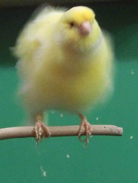 ようこそ!とりみカフェ!!~鳥カフェでの出来事や鳥写真~-21