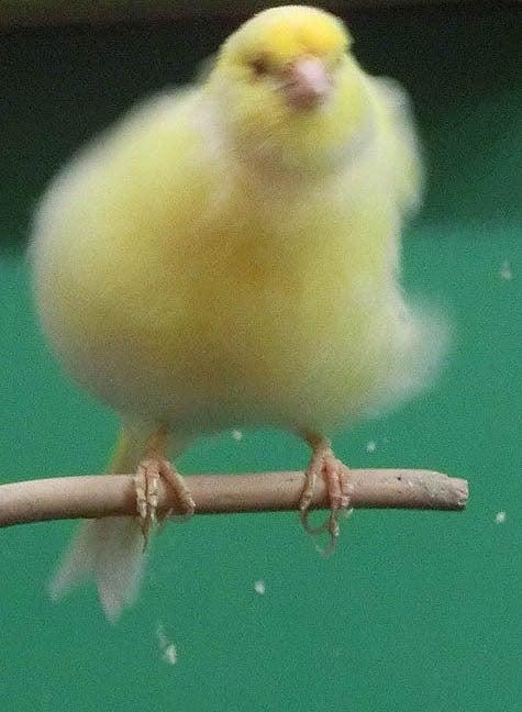 ようこそ!とりみカフェ!!~鳥カフェでの出来事や鳥写真~-18