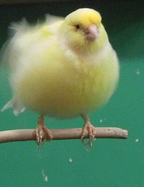 ようこそ!とりみカフェ!!~鳥カフェでの出来事や鳥写真~-26