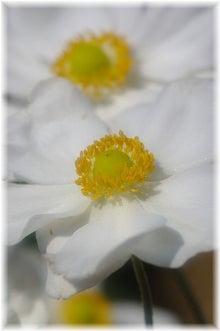 毎日はっぴぃ気分☆-秋明菊