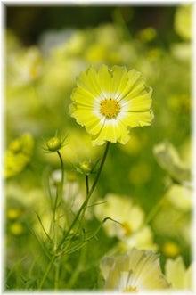 毎日はっぴぃ気分☆-黄色いコスモス