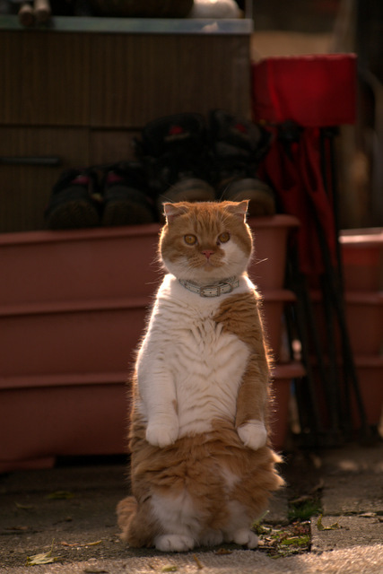 スコ猫くまきち日和+-くまきち