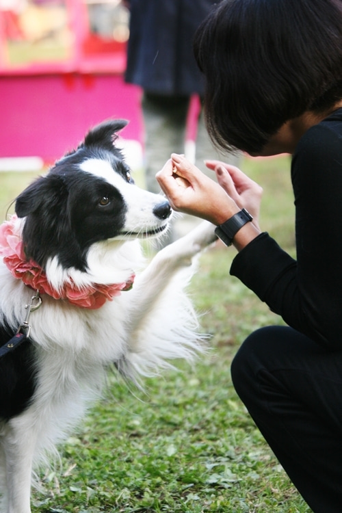 アイコンタクト犬ストーカーボーダーコリー