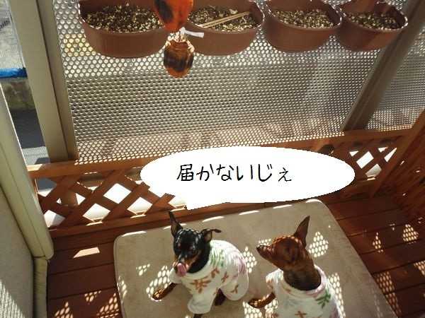 ミニピン!!! 大和!!! 武蔵!!!-2012.12.11-4