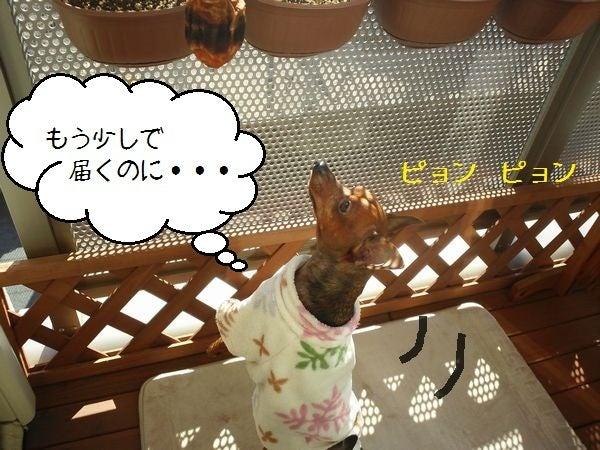 ミニピン!!! 大和!!! 武蔵!!!-2012.12.11-3